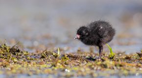 Spotted Crake - Porzana porzana - chick. At 7-10 days of age at a wetland, Vilnius county, Lithuania Stock Image