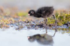 Spotted Crake - Porzana porzana - chick. At 7-10 days of age at a wetland, Vilnius county, Lithuania Royalty Free Stock Photos