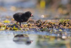 Spotted Crake - Porzana porzana - chick. At 7-10 days of age at a wetland, Vilnius county, Lithuania Royalty Free Stock Images