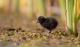 Spotted Crake - Porzana porzana - chick. At 7-10 days of age at a wetland, Vilnius county, Lithuania Stock Images