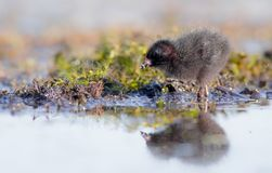Spotted Crake - Porzana porzana - chick. At 7-10 days of age at a wetland, Vilnius county, Lithuania Royalty Free Stock Photography