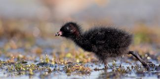 Spotted Crake - Porzana porzana - chick. At 7-10 days of age at a wetland, Vilnius county, Lithuania Stock Photos