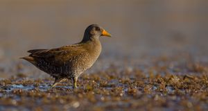 Spotted Crake - Porzana porzana - adult bird Royalty Free Stock Images