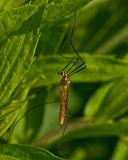 Spotted crane fly, Nephrotoma appendiculata Stock Photo
