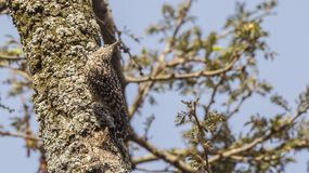 Spotted Creeper Creeping On Trunk Royalty Free Stock Image