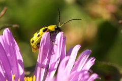 Spotted Cucumber Beetle Royalty Free Stock Image