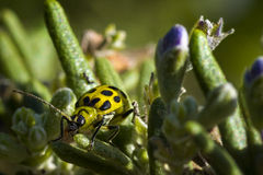 Spotted Cucumber Beetle Stock Photo
