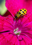 A spotted cucumber beetle on a flower petal. A spotted cucumber beetle on the edge of a pink flower petal.  The beetle is an agricultural pest in North America Stock Image