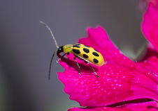 A spotted cucumber beetle on a flower petal. A spotted cucumber beetle on the edge of a pink flower petal.  The beetle is an agricultural pest in North America Royalty Free Stock Photos
