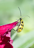 A spotted cucumber beetle on a flower petal. A spotted cucumber beetle hangs on the edge of a pink flower petal.  The beetle is an agricultural pest in North Stock Images