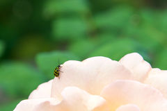 Spotted cucumber beetle on a rose Royalty Free Stock Photo