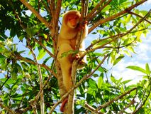 Spotted cuscus. Female spotted cuscus in a tree Stock Photography