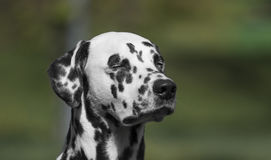Spotted Cute Adorable Portrait Of Dalmatian Dog. Female Stock Images