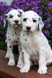 Spotted Dalmatian puppies sitting on bench in front of colorful summer flowers Royalty Free Stock Photography