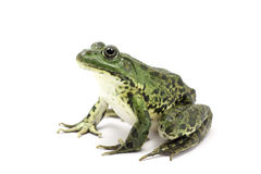 Spotted dark green frog Stock Photo