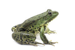 Spotted dark green lake frog Stock Images