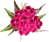 Spotted dark pink flowers isolated on white Royalty Free Stock Images