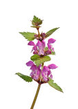 Spotted Deadnettle (Lamium maculatum). Colorful and crisp image of spotted Deadnettle (Lamium maculatum Stock Images
