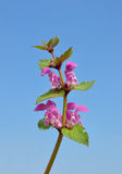 Spotted Deadnettle (Lamium maculatum) Stock Photo