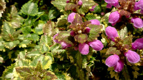 Spotted deadnettle, Lamium maculatum Stock Images