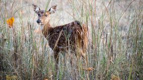 Spotted dear posing from the shrubs royalty free stock photo