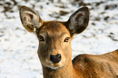 Spotted deer. Head close-up of a female spotted deer stock image
