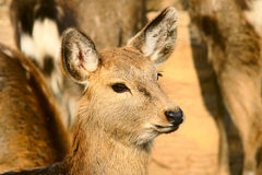 Spotted deer. Head close-up of a female spotted deer stock photos