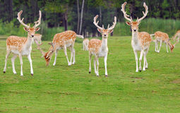Spotted Deer. A herd of spotted deer in green field royalty free stock photography