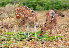Spotted deer. S grazing in the wild Royalty Free Stock Photo