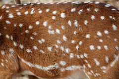 Spotted deer. A detail of the spotted coat of a deer Stock Image