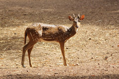 Spotted deer. Young spotted deer looking at  the photographer in a zoological park Stock Photo
