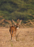 Spotted deer. (Axis axis), Keoladeo Ghana National Park, Bharatpur, Rajasthan, India Royalty Free Stock Photos