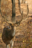 Spotted deer. (Axis axis), Ranthambore National Park, Rajasthan, India Royalty Free Stock Photography