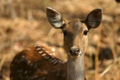 Spotted deer. (Axis axis), Ranthambore National Park, Rajasthan, India Royalty Free Stock Photo