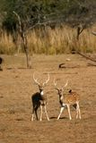 Spotted deer. (Axis axis), Ranthambore National Park, Rajasthan, India Royalty Free Stock Images