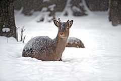 Spotted Deer Royalty Free Stock Image