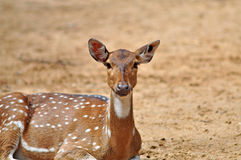 Spotted deer Stock Photography