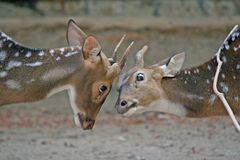 Spotted Deer. 2 spotted deer (or chital) play together Royalty Free Stock Images