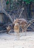 Spotted Deer. Axis Deer standing Stock Image