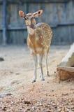 Spotted Deer. Axis Deer standing Stock Photos