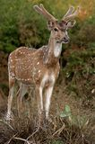 Spotted deer. In Mudulamai Nation Park, Tamil Nadu, India Royalty Free Stock Images