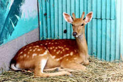 Spotted deer. In a zoo Stock Images