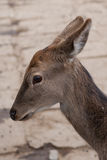 Spotted Deer. Nice looking young spotted deer in China Stock Photos
