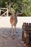 Spotted deer Royalty Free Stock Photos