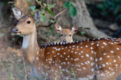 Spotted Deer Axis axis Stock Photography