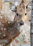 Spotted deer Axis axis. Young male Spotted deer Axis axis front view Stock Image