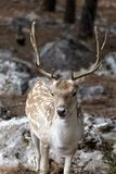 Spotted deer Axis axis in the forest Royalty Free Stock Photos