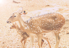 Spotted Deer, Axis Deer Axis axis. In Zoo Park Stock Image