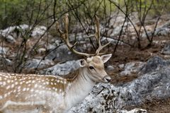 Spotted deer Axis axis in the forest. Spotted deer, male Axis axis in the natural habitat Macedonia, northwest Greece Stock Images