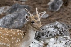 Spotted deer Axis axis in the forest. Spotted deer, male Axis axis in the natural habitat Macedonia, northwest Greece Stock Photography
